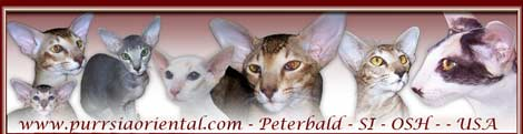 purrsiaoriental.com - Purrsua Cattery, Peterbald, Siamese, and Oriental Short Hair cats and kittens from Las Vegas, Nevada, USA