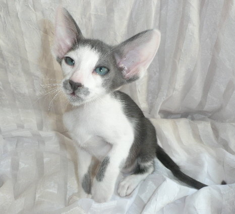 Purrsia Cattery - Oriental Short Hair, Siamese, and Peterbald