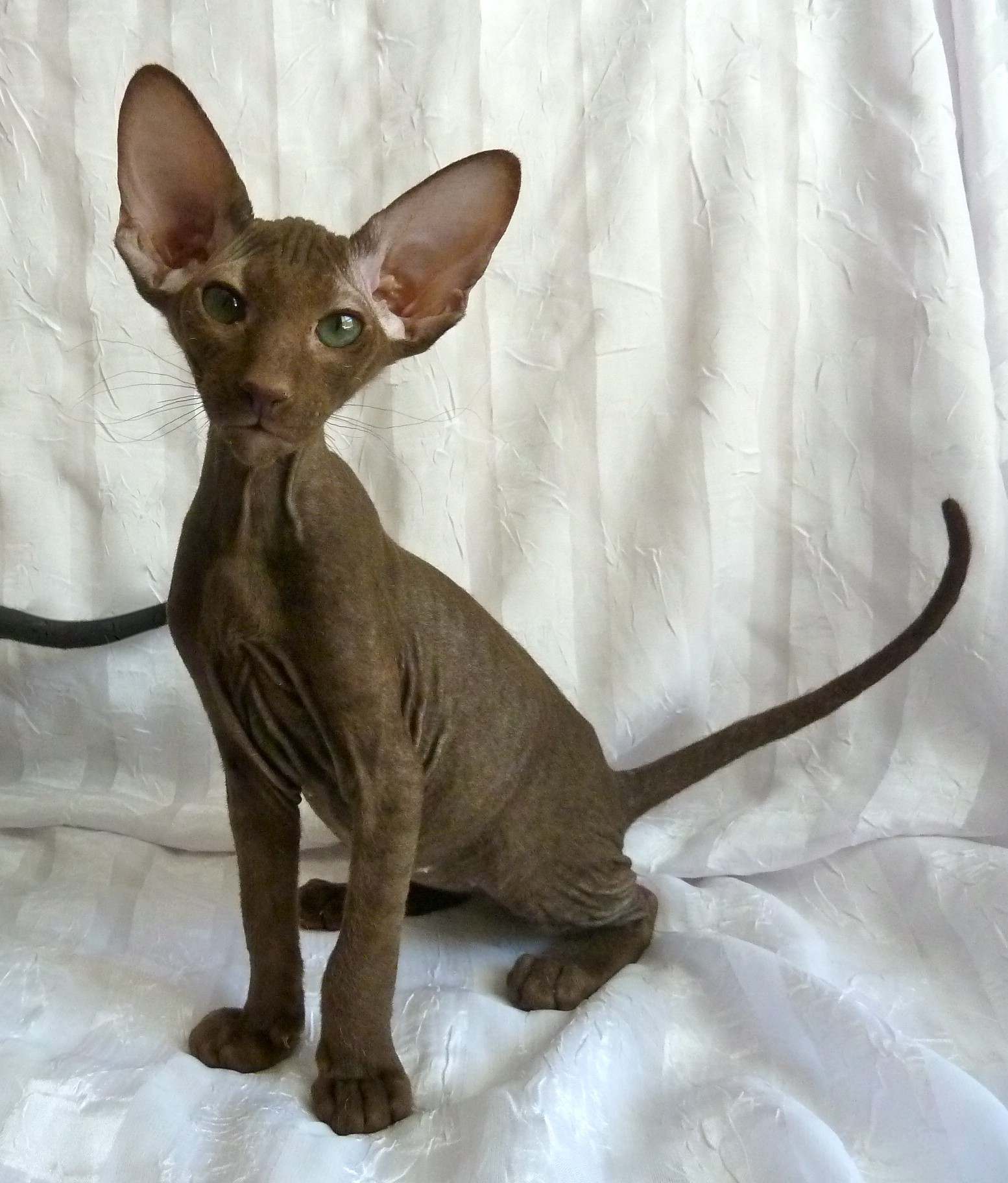 Purrsia Cattery Peterbald Cats And Kittens